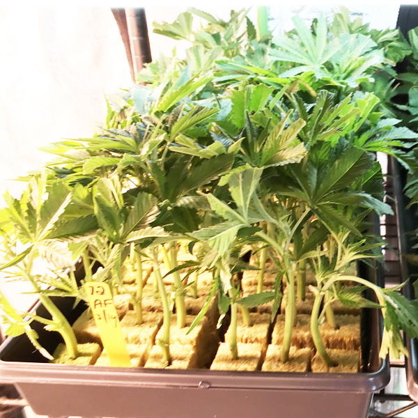 New York Marijuana Seeds